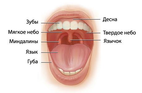 Небные миндалины в норме